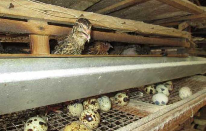 Cách chăn nuôi chim cút