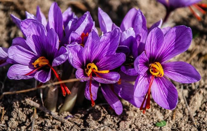 Cung cấp hồng hoa tây tạng saffron tốt giá rẻ